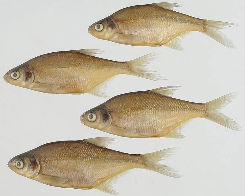 Рыба лещ: как выглядит, чем питается, семейство
