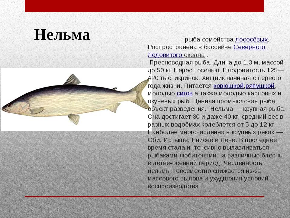 Рыба шамайка: описание и места обитания