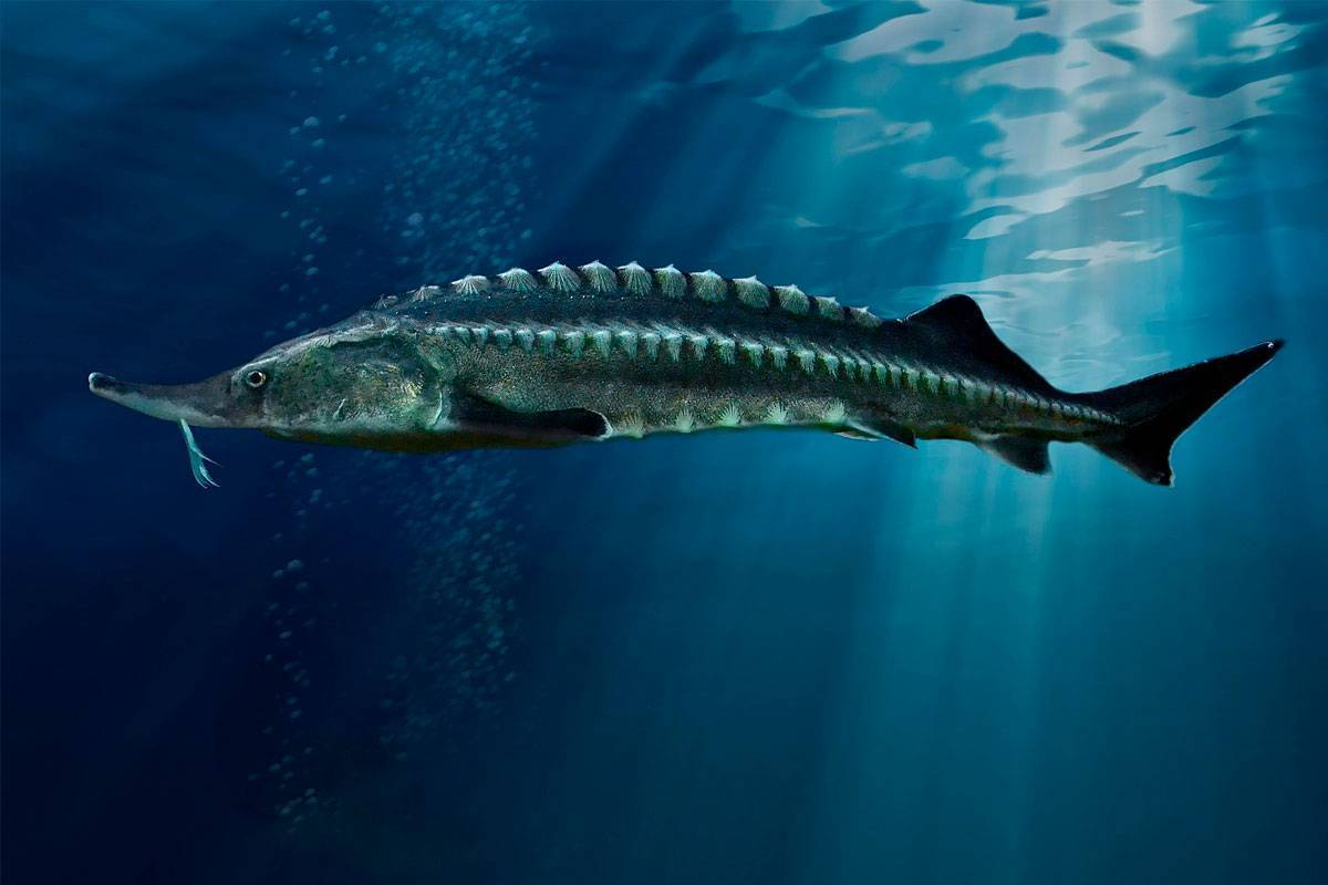 Семейство осетровых видов рыб — список самых популярных осетров, описание и фото