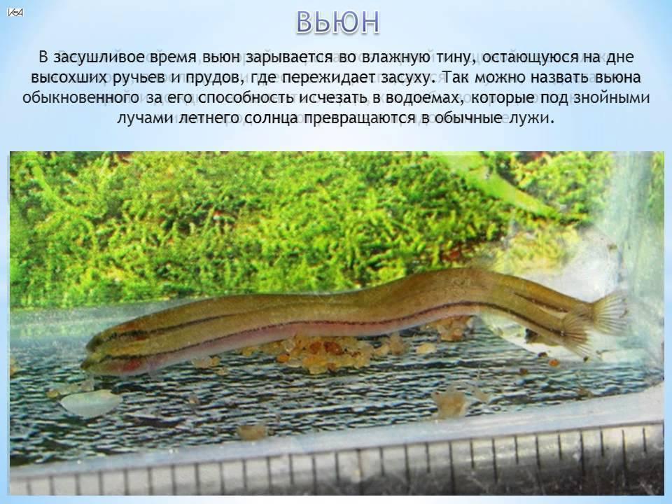Вьюн описание, образ жизни и ловля рыбы, фото