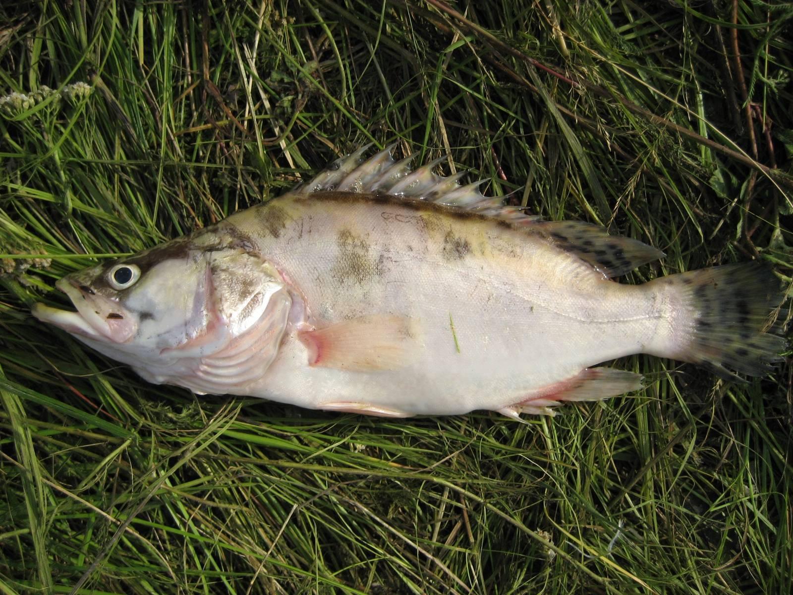 Рыба окунь: особенности, виды, рыбалка и разведение