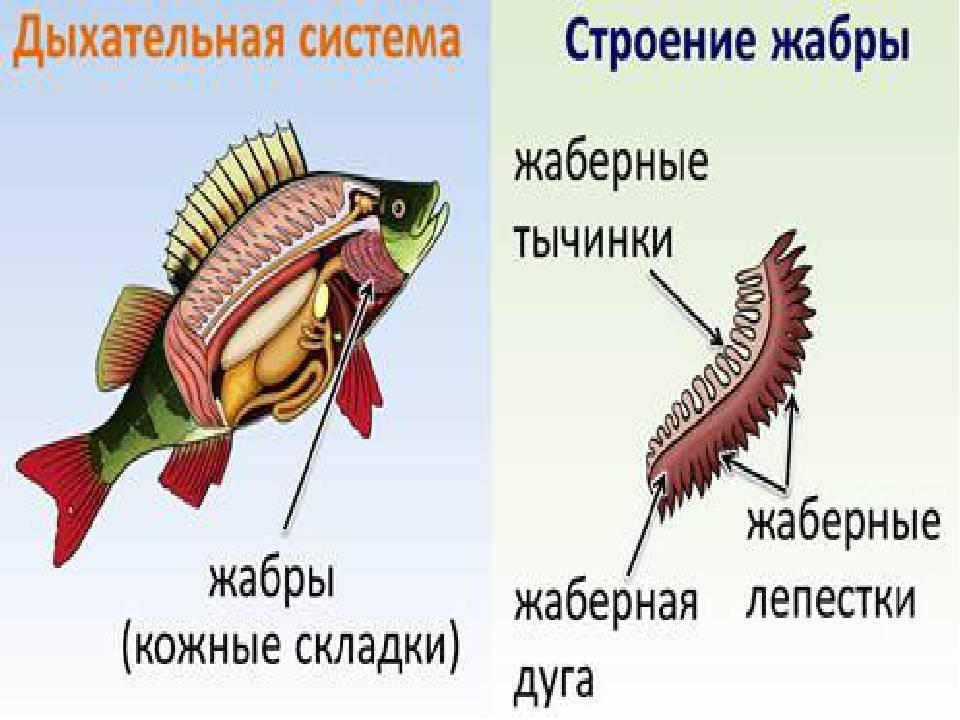 Анисимова и.м., лавровский в.в. ихтиология. строение и некоторые физиологические особенности рыб. дыхательная система. газообмен - электронная биологическая библиотека