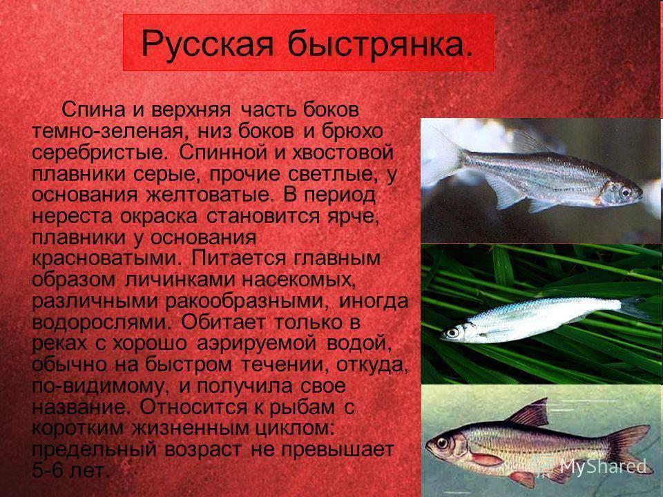 Рыба ауха (китайский окунь): описание, поведение хищника, содержание в аквариуме и размножение