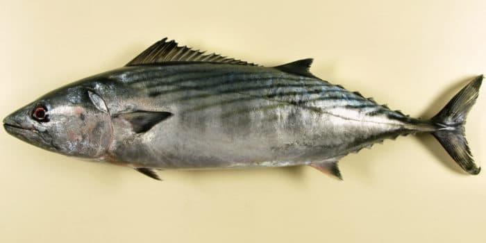 Пеламиды (рыбы)