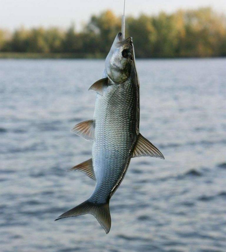 Рыба жерех. описание, особенности и среда обитания жереха  | животный мир