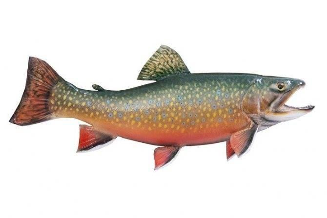 Палия - рыба вкусная. описание, советы по приготовлению