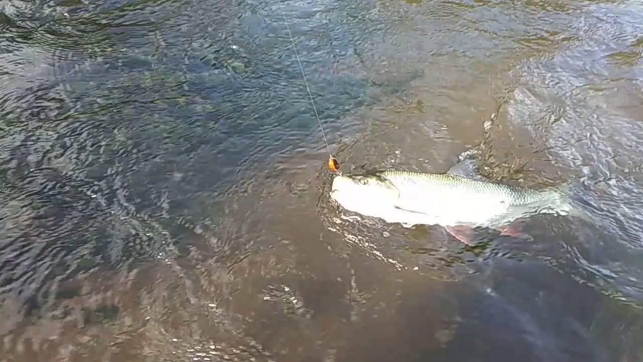 Рыбалка на дубешне: описание и фото