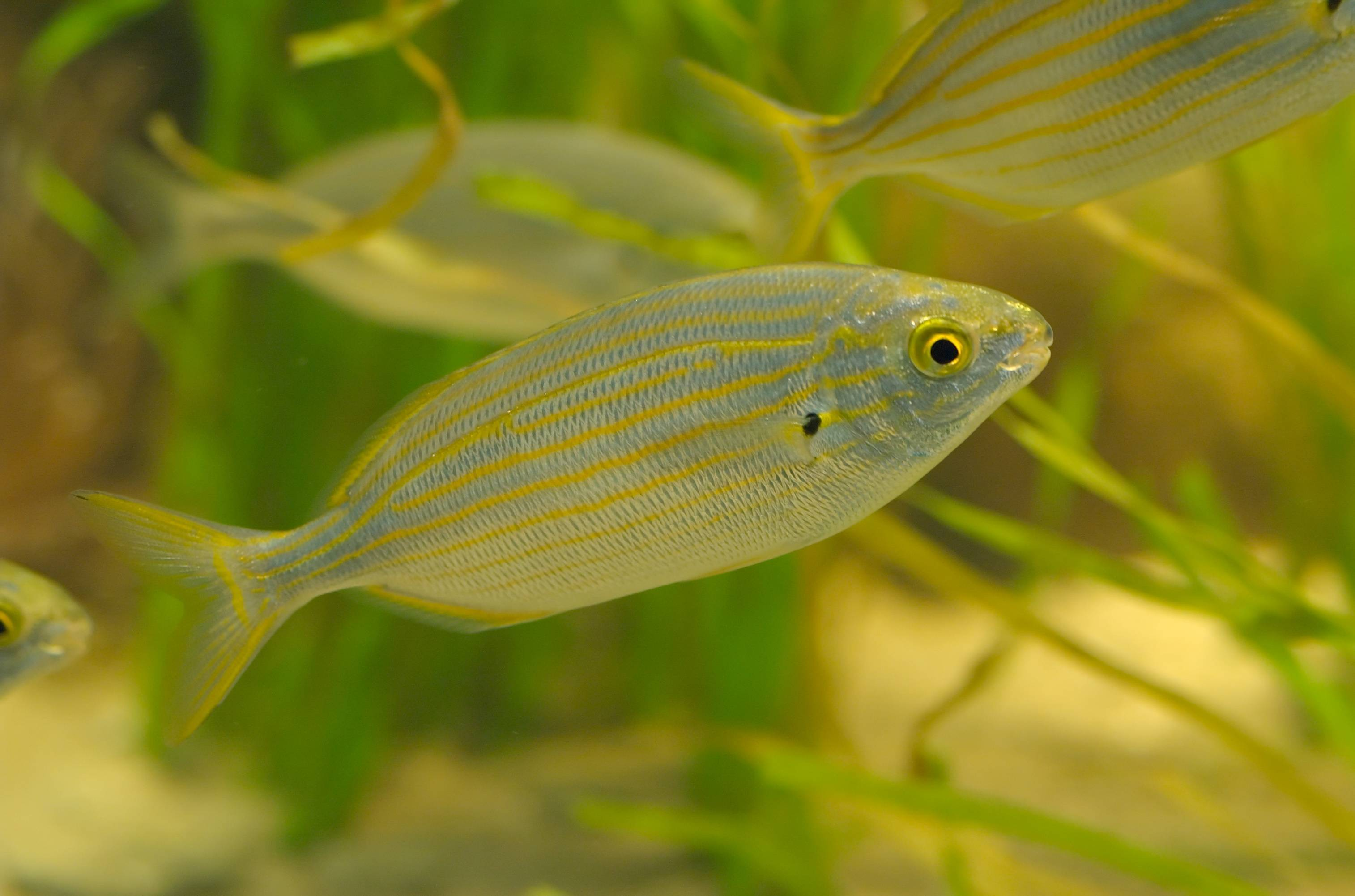 Сарпа (рыба) - вики