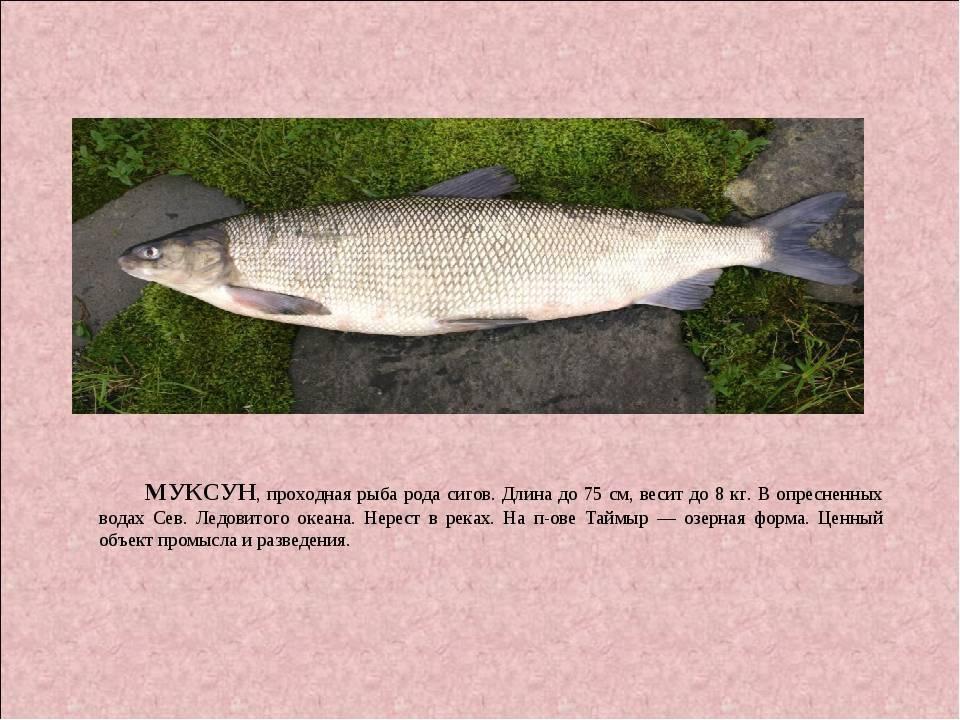 Firstfisher.ru – интернет-журнал о рыбалке и рыболовах. шамайка: что это за рыба?