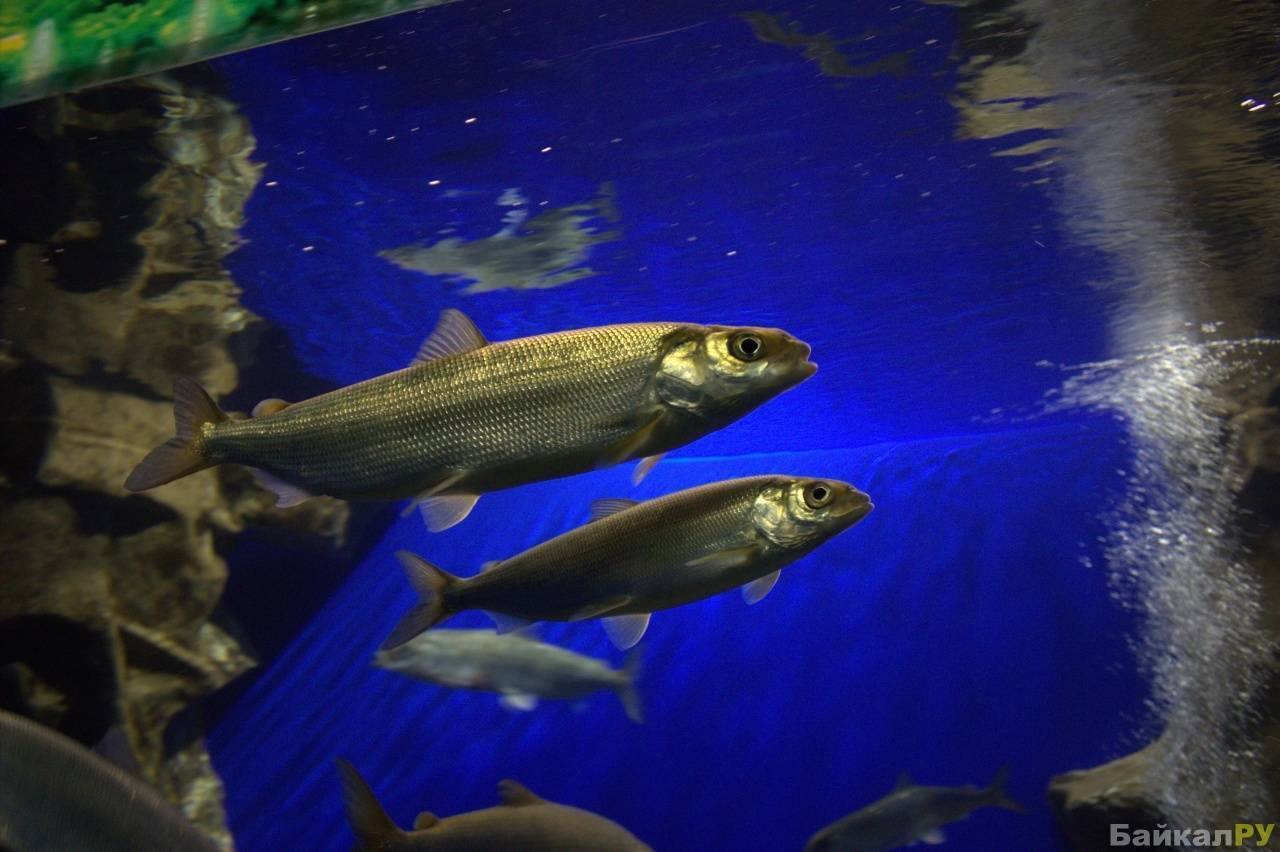 Рыбы озера байкал: названия, описание и фото — природа мира