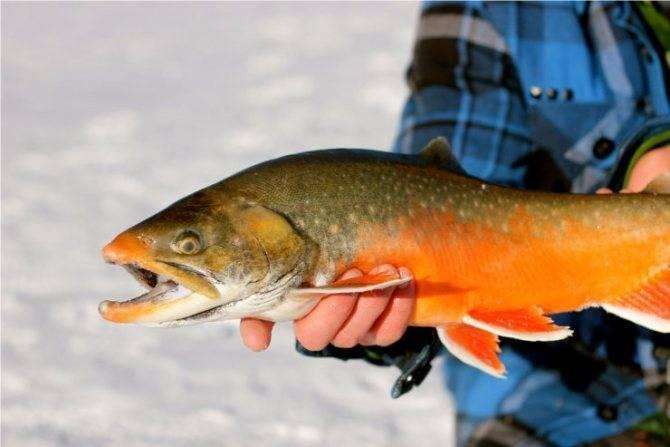 Голец что за рыба, польза и вред, свойства икры, как готовить