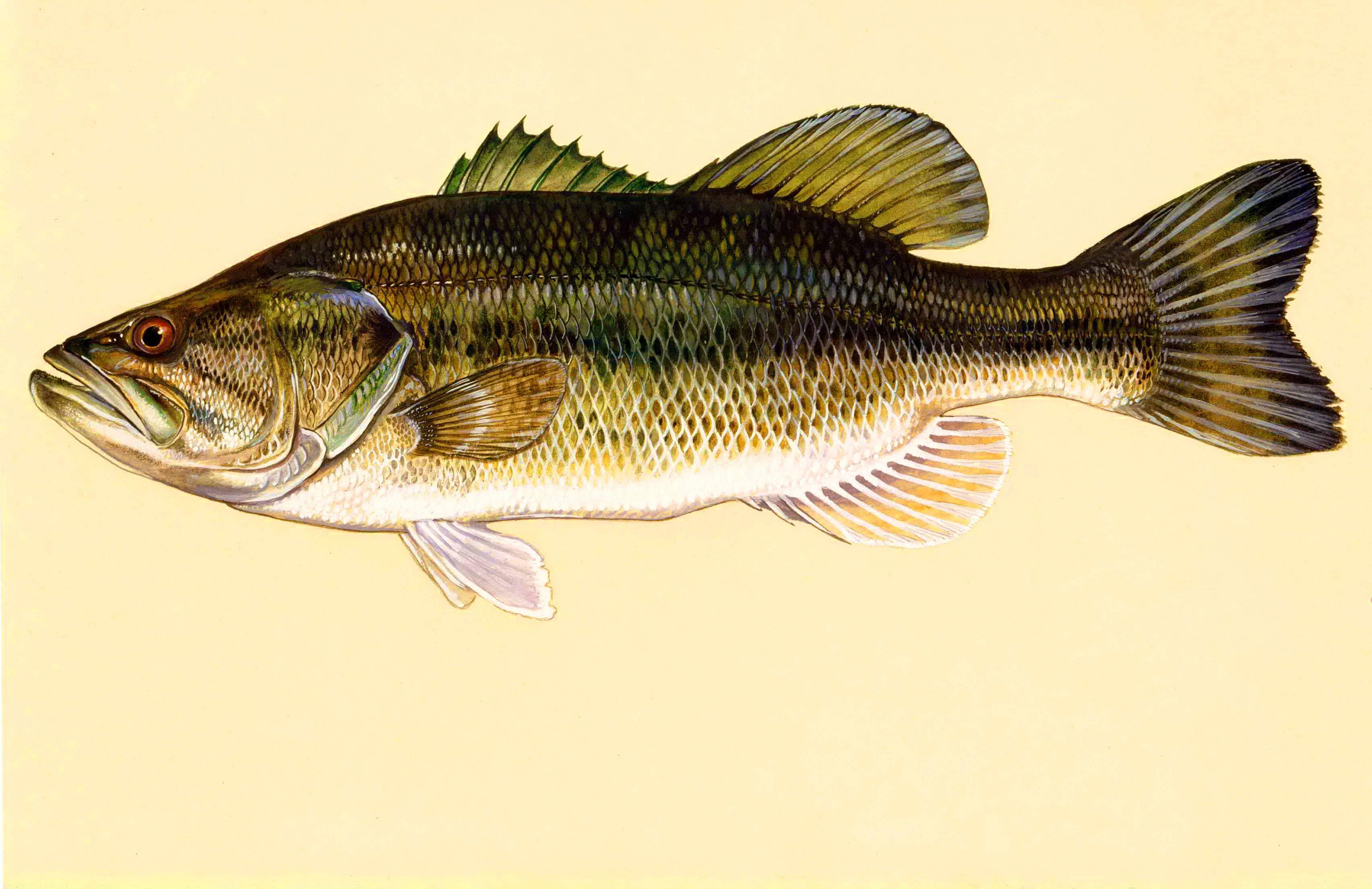 Калико рыбалка – лос-анджелес, ca