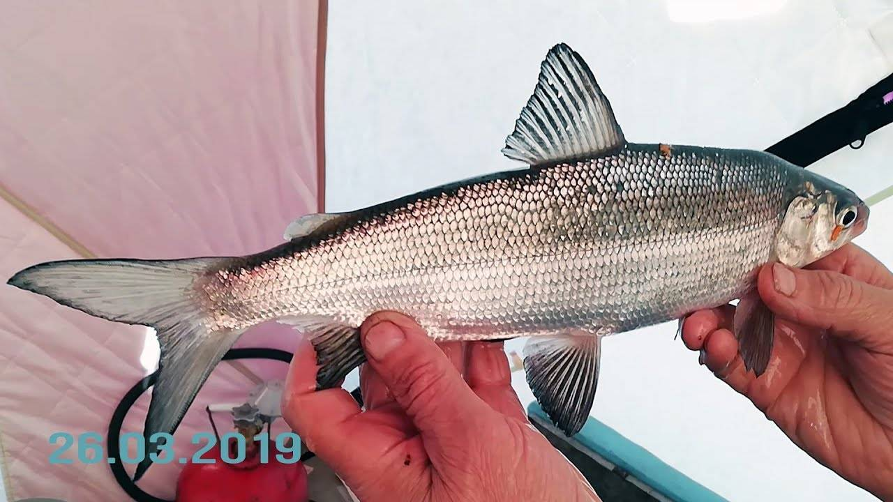 Каталог рыб: фото и описание