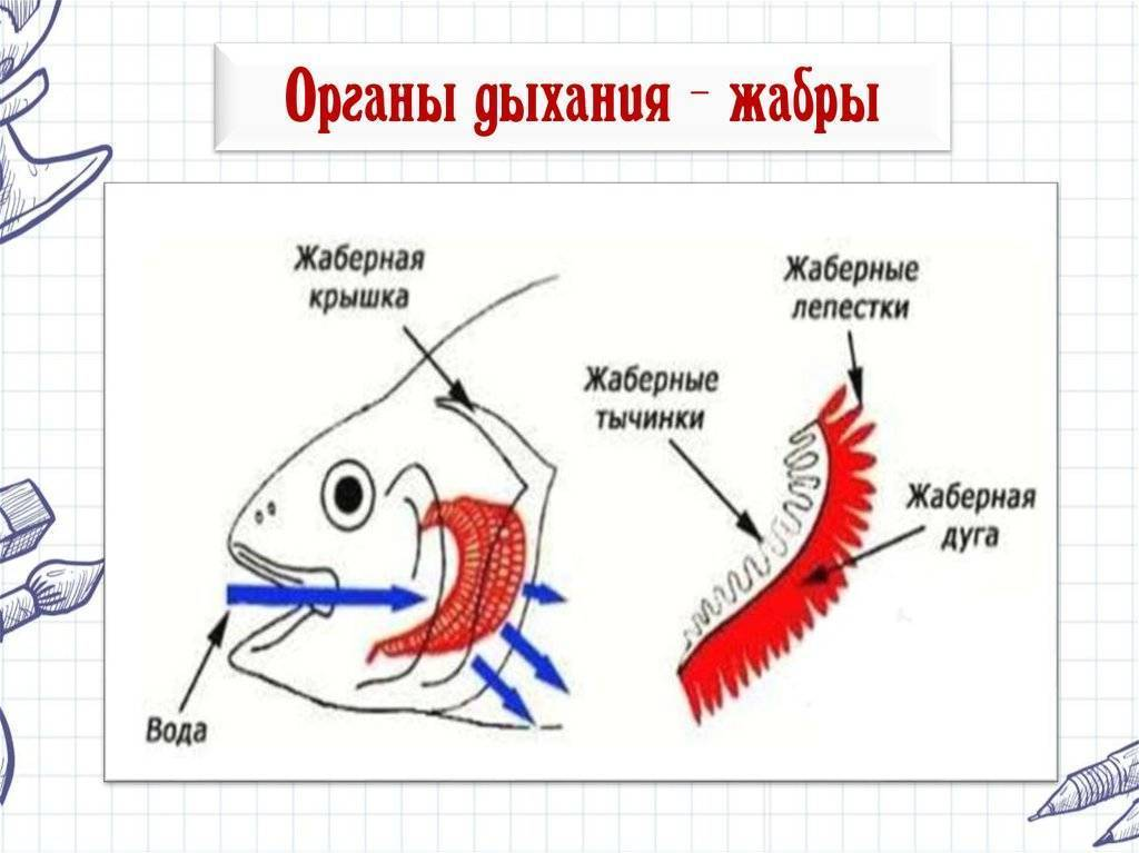 Двоякодышащие рыбы: класс, представители, особенности строения, характеристики :: syl.ru