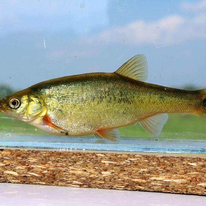 Рыба гольян: промысловое значение и способы любительской ловли
