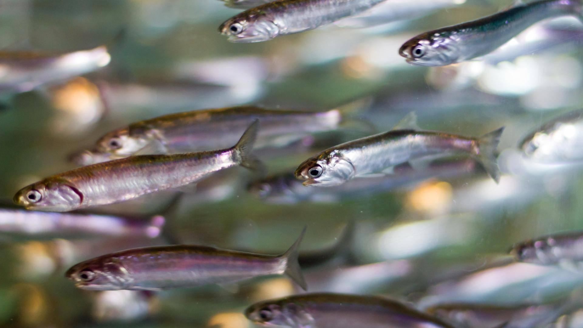 Что такое анчоусы и как они выглядят? – суперулов – интернет-портал о рыбалке