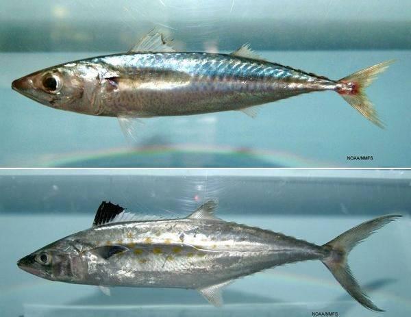 Рыба макрель, чем она отличается от скумбрии