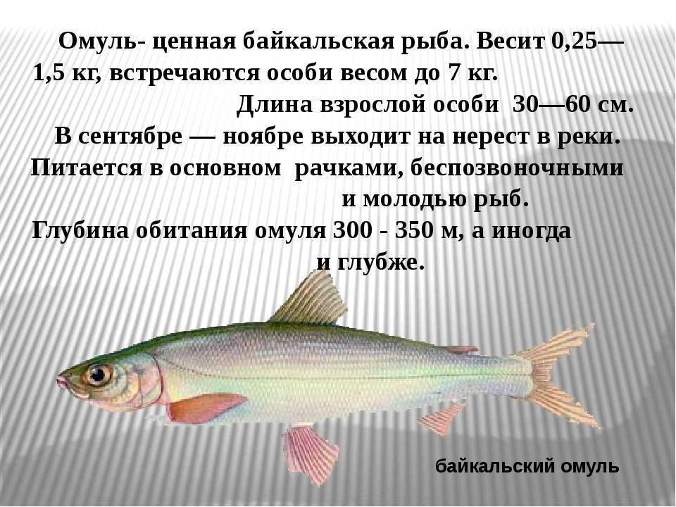 Рыбы байкала - самые популярные и уникальные представители озера (105 фото и видео)