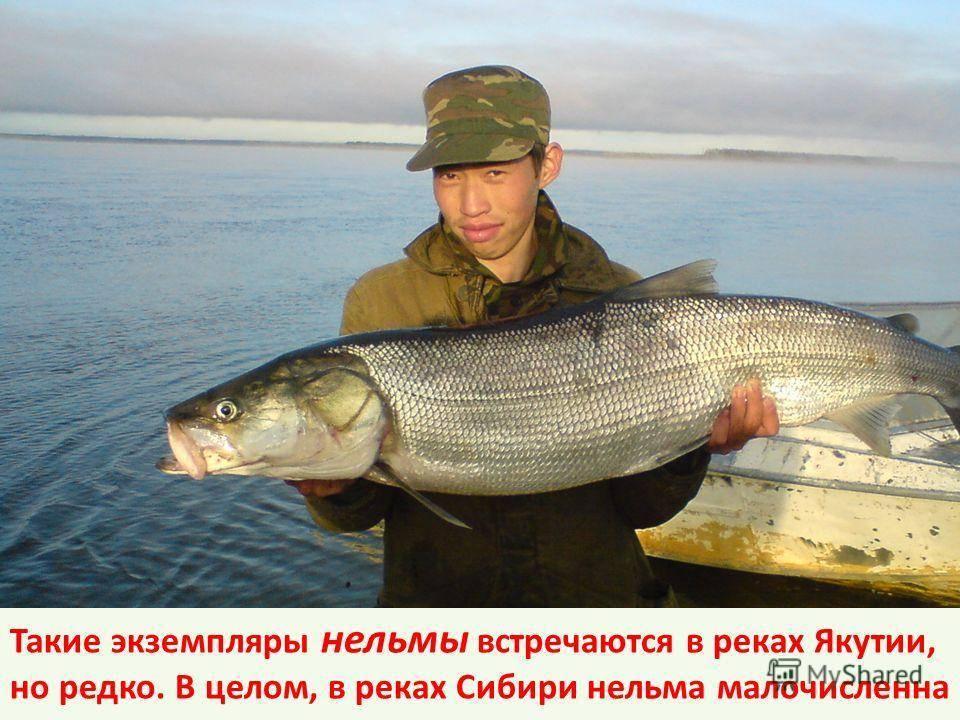 Белорыбица - что за рыба, как готовить вкусные блюда?
