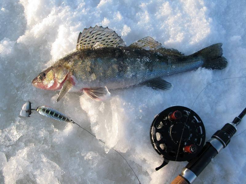 Ловля судака зимой: снасти и приманки на судака для зимней ловли, где искать и как ловить со льда