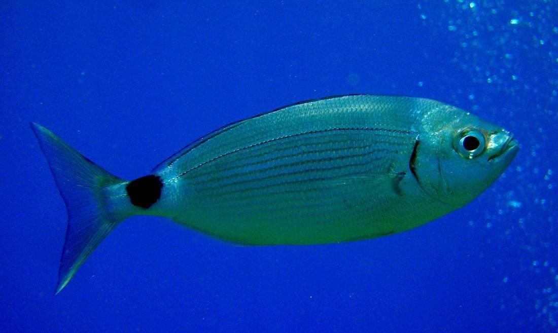 Рыба «Облада чернохвостая» фото и описание
