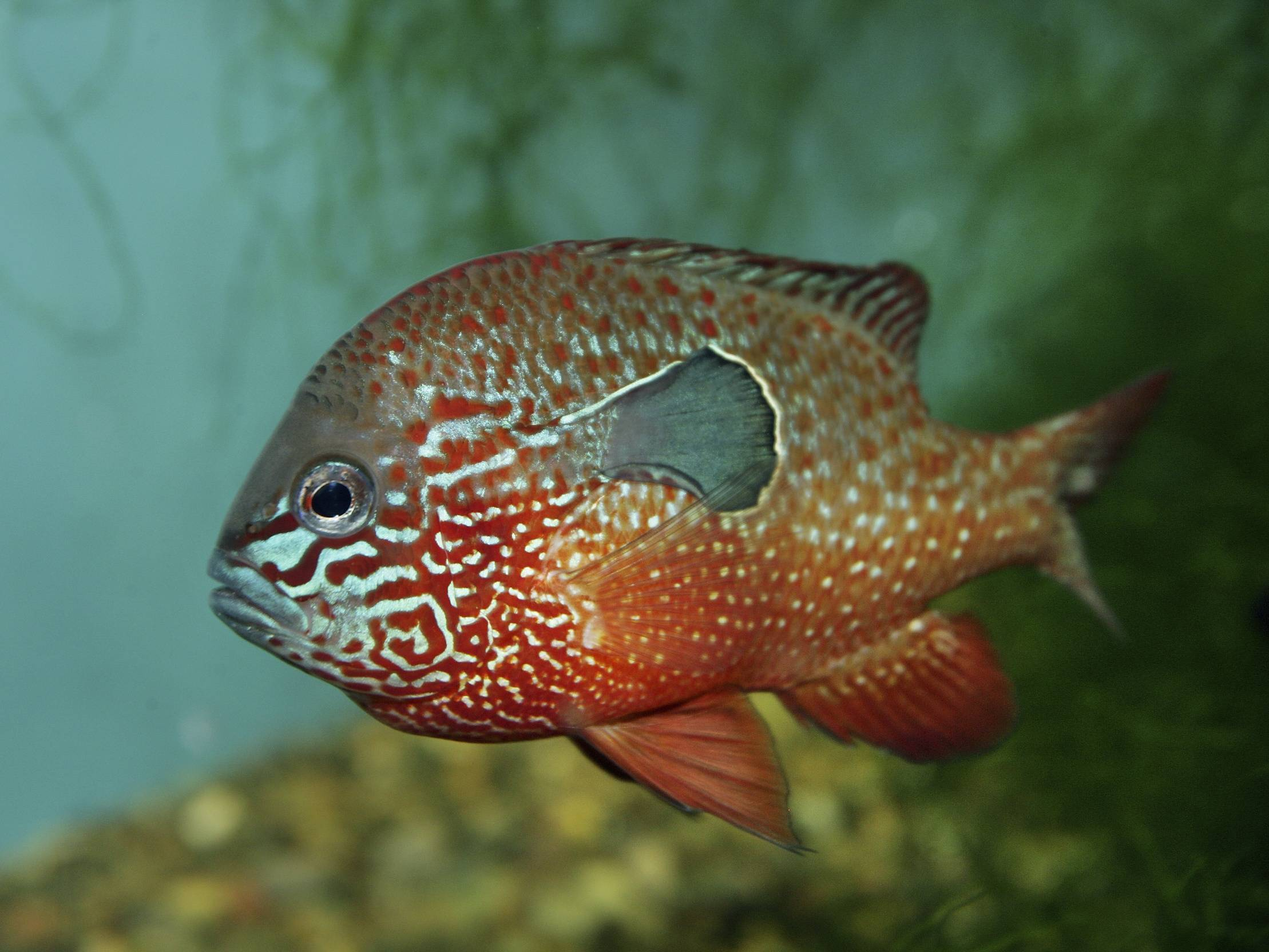 Рыба «Окунь солнечный оранжевый длинноухий» фото и описание