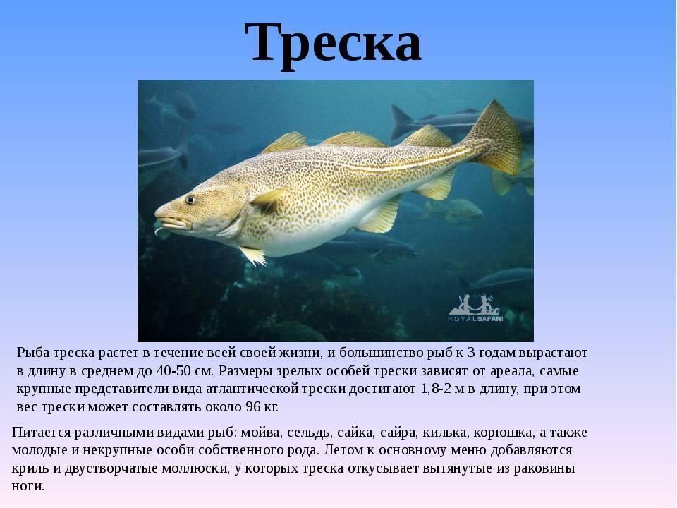 Рыба простипома — общая информация и рецепты блюд