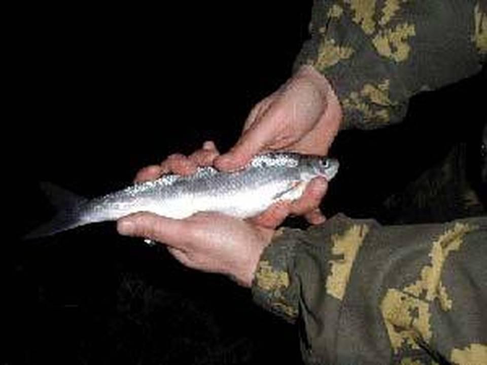 Шемая или шамайка, рыба семейства карповых, alburnus mento