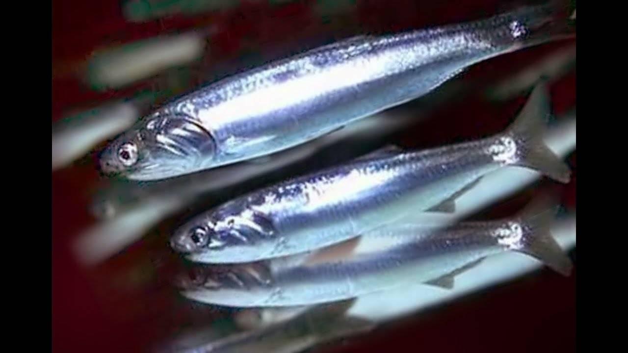 Анчоусы: что это такое, польза и вред этой рыбы | пища это лекарство