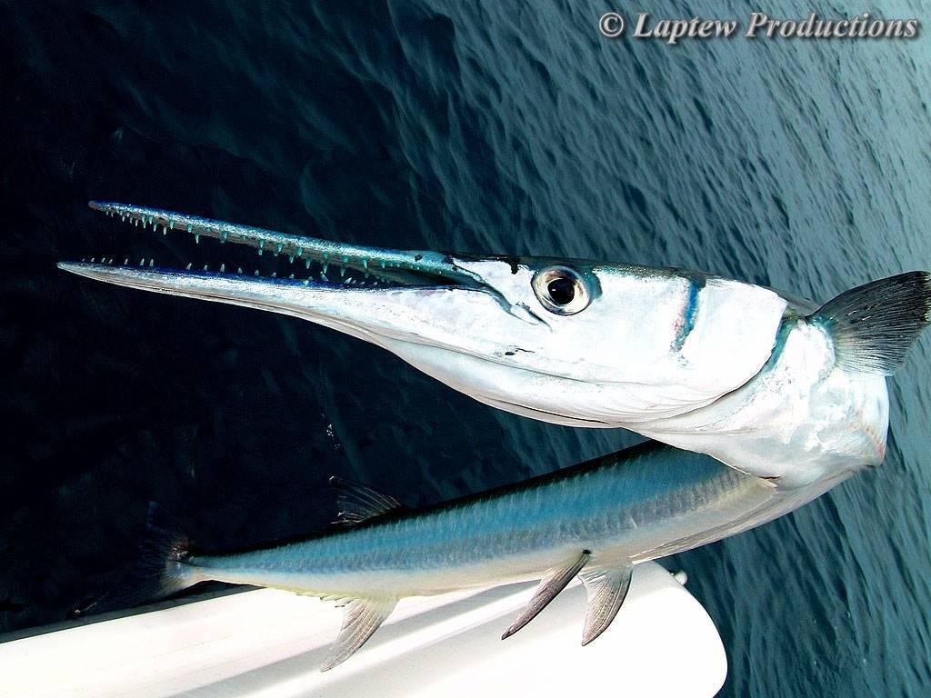 Рыба «Сарган» фото и описание