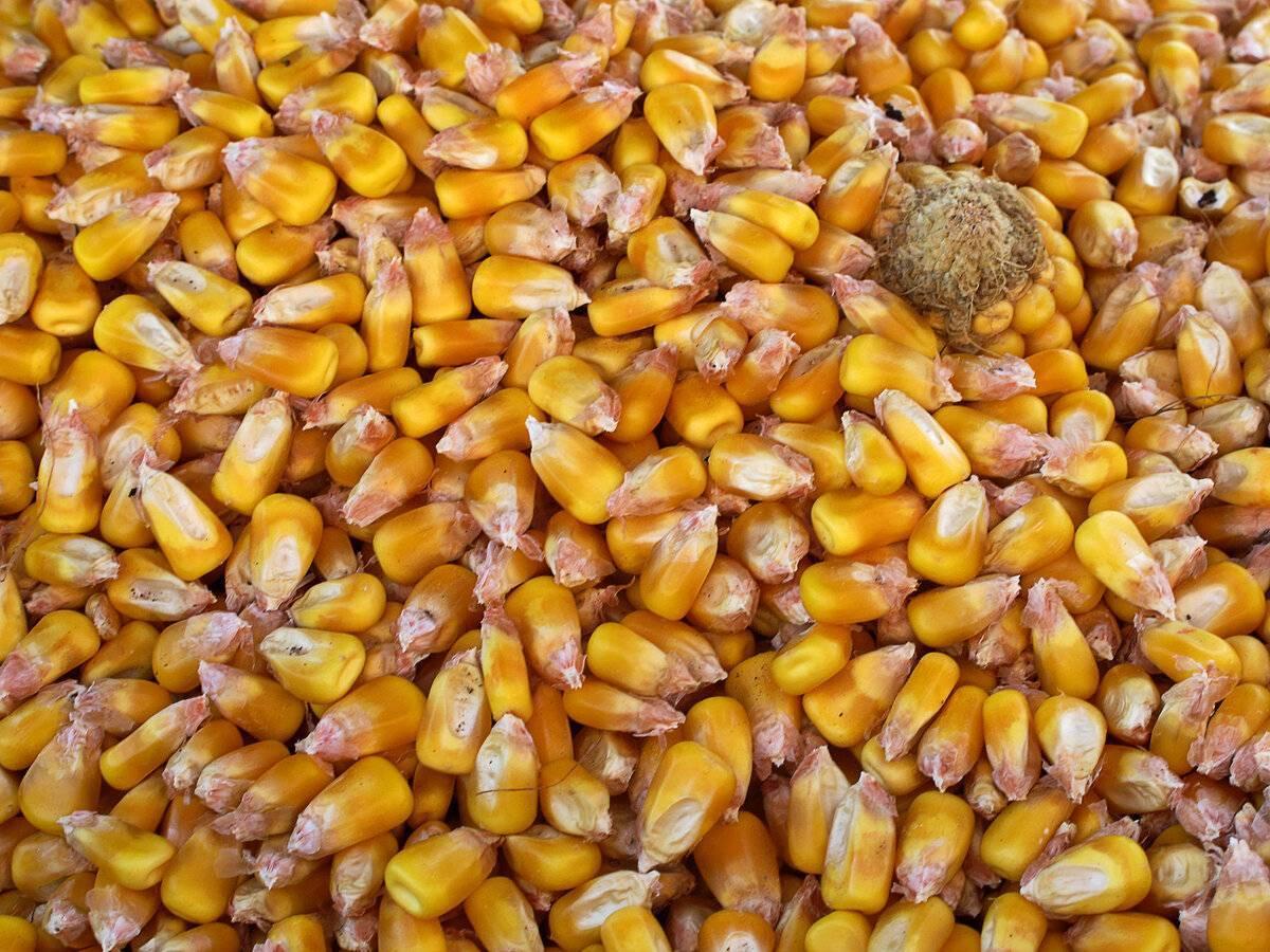 Как нужно хранить ферментированную кукурузу для рыбалки