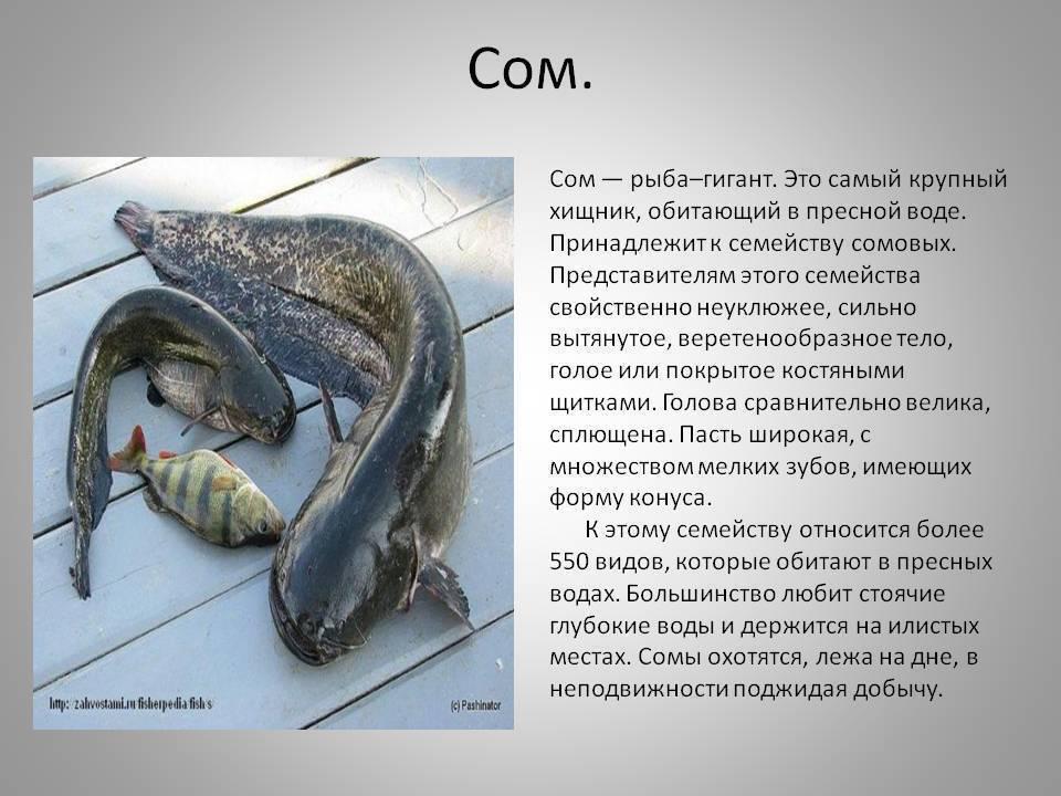 Сом-людоед на дону: что известно о речном хищнике – mixtrack.ru