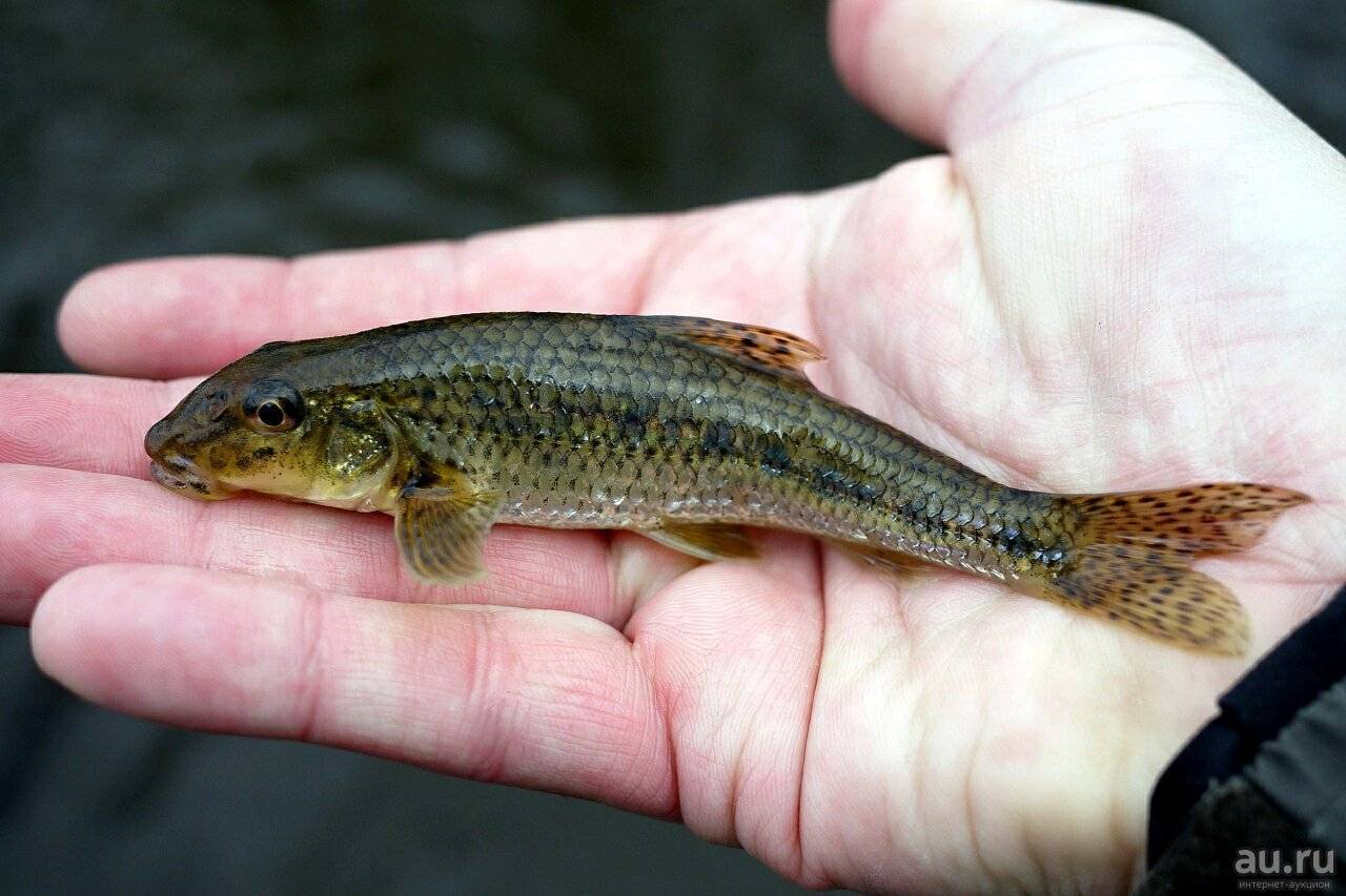 Рыба пескарь: описание, образ жизни, нерест. рыбалка на пескаря