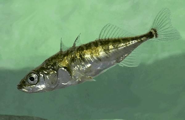 Трёхиглая колюшка — описание рыбы и её образ жизни
