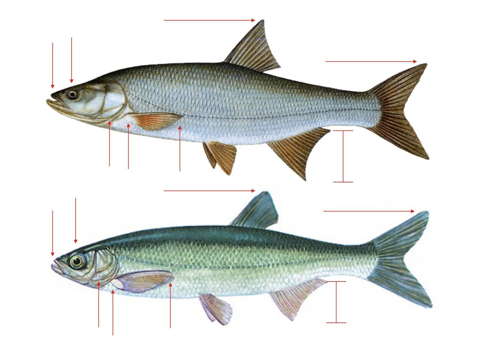 Как выглядит, где обитает рыба елец: снасти испособы ловли