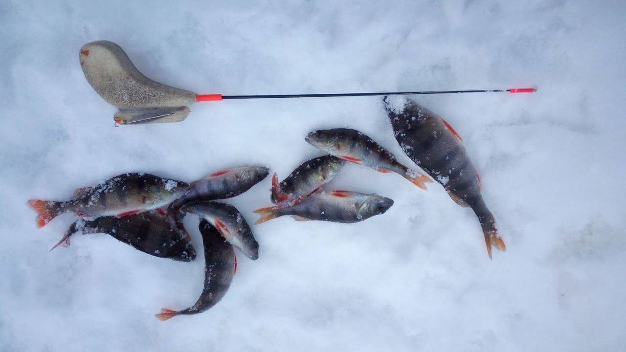 Ловля окуня зимой со льда, в декабре, январе, феврале, снасти, приманки