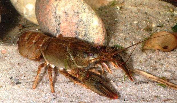 Широкопалый речной рак | мир животных и растений
