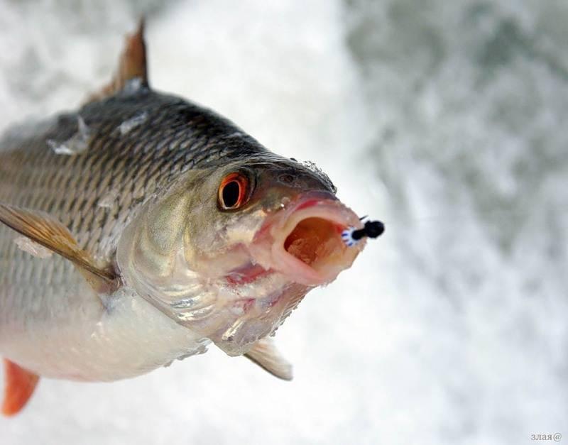 Что за рыба чебак?