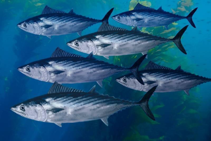 Где водится скумбрия в водоемах россии: морская или речная, питание, виды