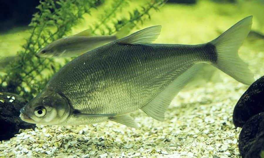 Рыба сопа фото описание — ловись рыбка