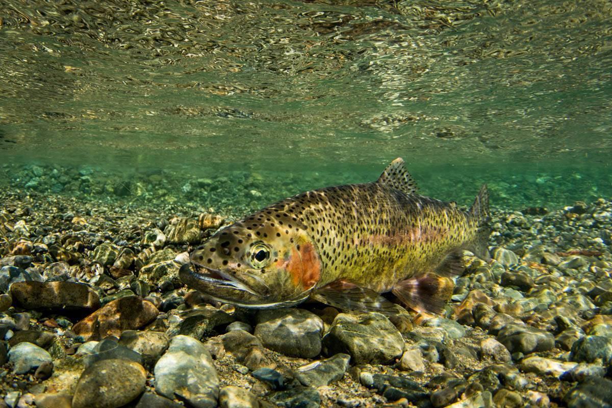 Какая пресноводная рыба водится в водоемах россии