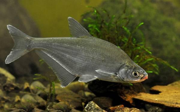 Рыба сопа, её особенности, где водится и как ловить | животный мир