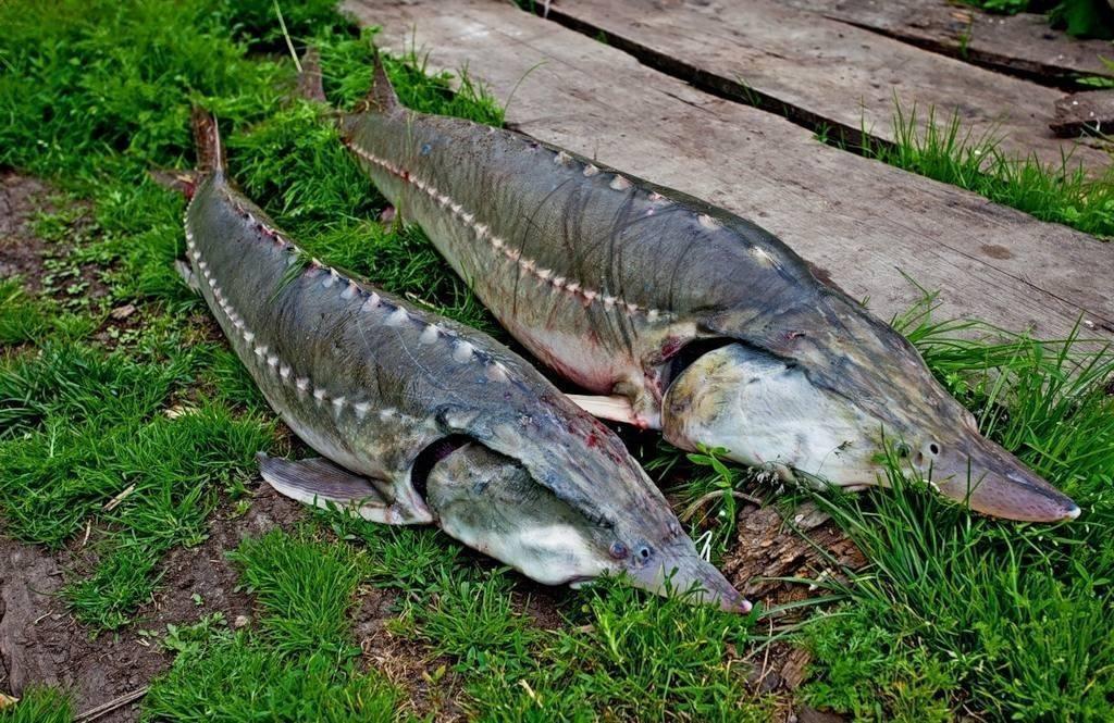 Калуга: состав, польза рыбы. калуга в кулинарии и рецепты   знать про все