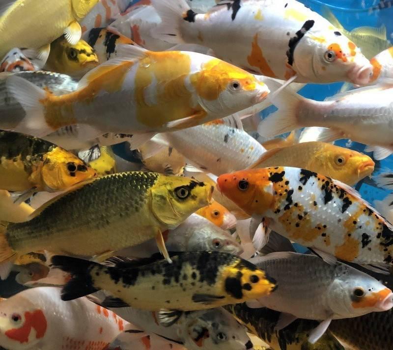 Тату карпа: значение рыбы кои для мужчин и девушек