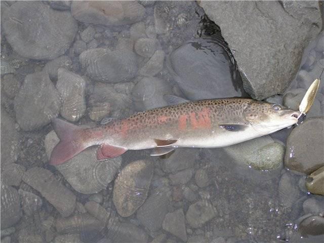 Рыба таймень описание и фото | ареал обитания, внешний вид