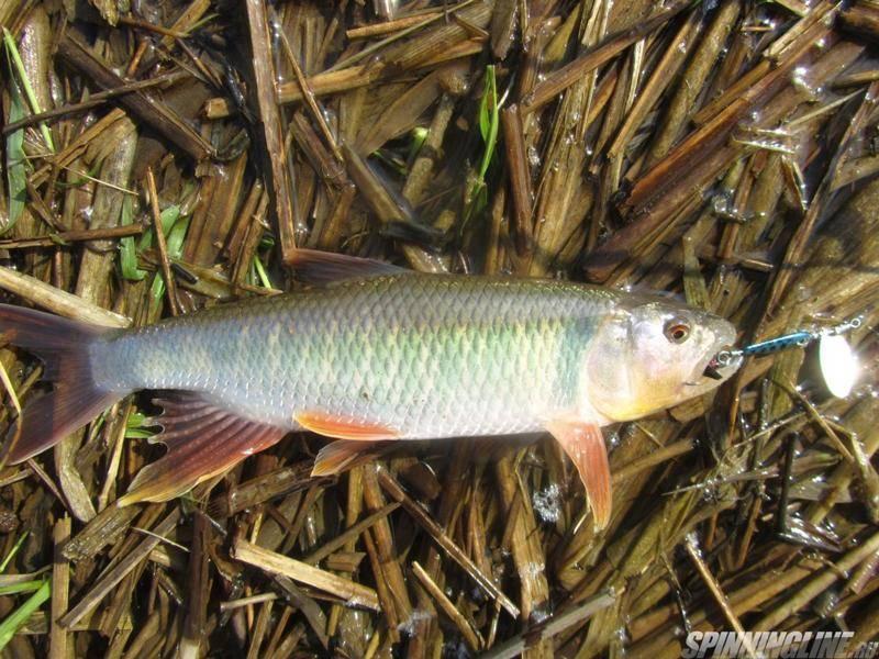 Рыба «Троегуб» фото и описание