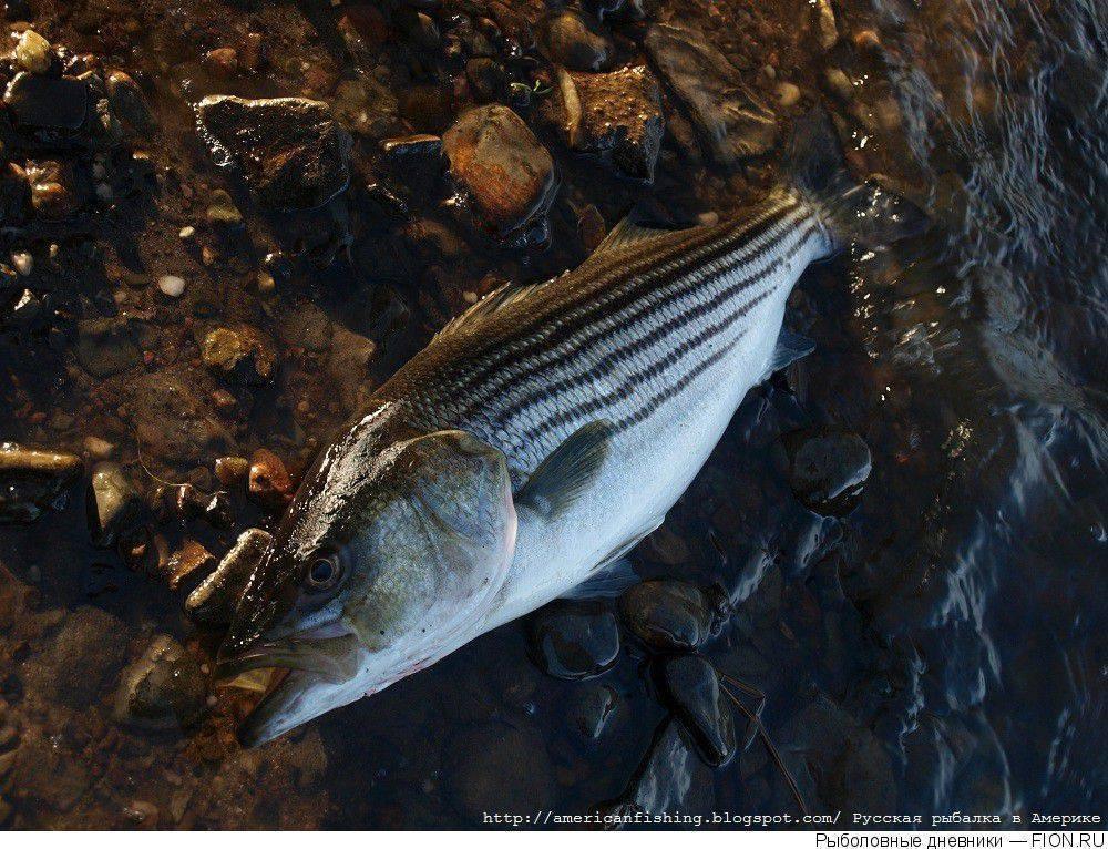 Лаврак обыкновенный: где обитает и как выглядит, особенности размножения, способы ловли и свойства рыбы