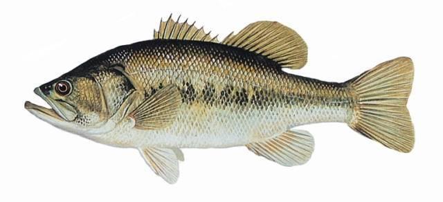 Малоротый окунь - smallmouth bass