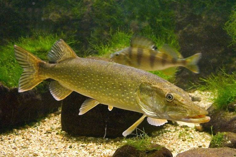 Речная рыба краткий обзор