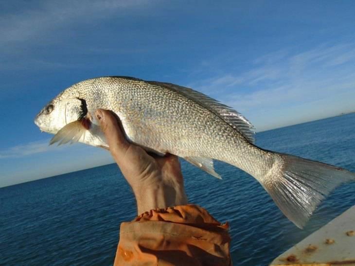 Горбыль — рыба семейства горбылёвые, фото и описание